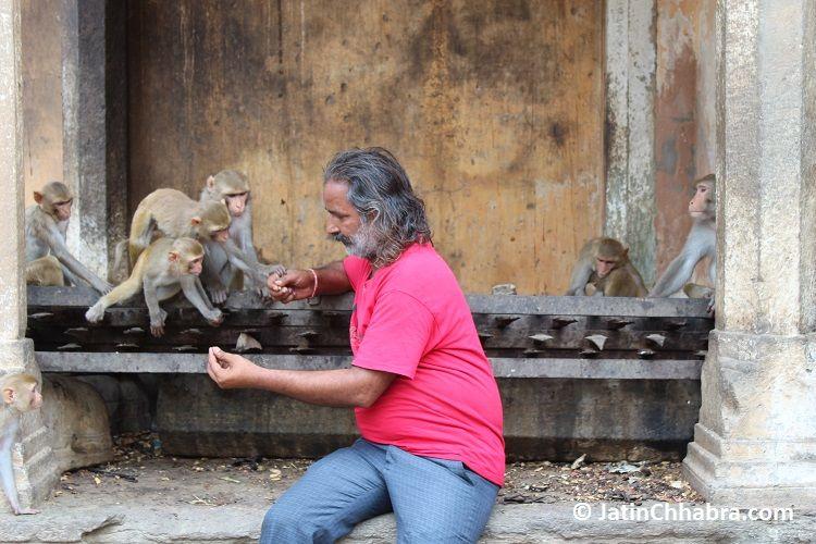 Mr Monkey Man attraction three monkeys with peanuts at Galta ji temple jaipur