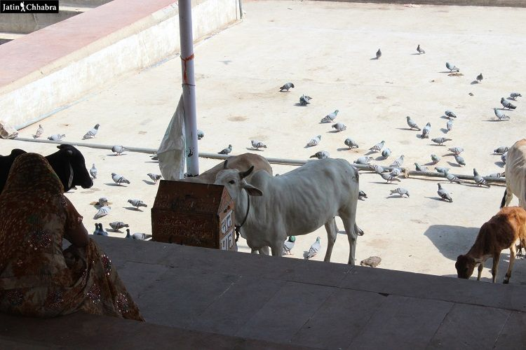 Gau Ghat Pushkar